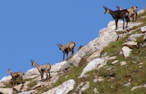 Chamois (Rupicapra rupicapra)  Photo by Paul Hermans